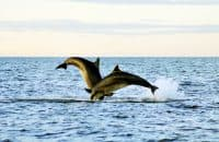 Dolphins, Moray Firth